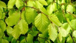 beech_leaves_in_the_sun_2