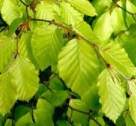beech_leaves_in_the_sun_2