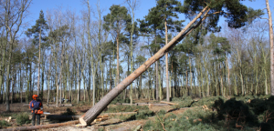Medium Tree Felling